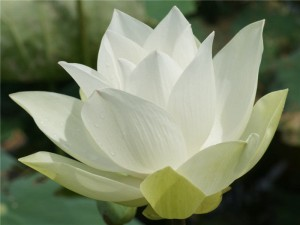 Flower - Lotus 1 - Updated